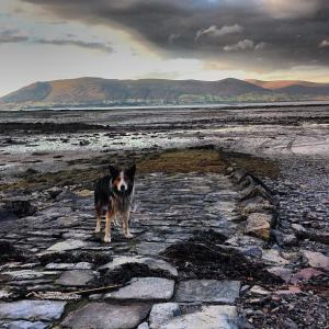 Oyster Farm Dog, Carlingford Ireland